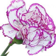 Carnations Bicolor White Purple Edge Flowers - Bulk Carnations