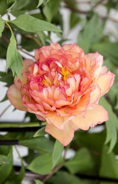10 beautiful peonies to grow Peony 'Souvenir de Maxime Cornu': this French tree peony has large, double ruffled peach-coloured blooms. Beautiful in borders and bouquets. Tree Peony, Peony Rose, Peony Flower, Peony Plant, Peach Peonies, Growing Peonies, Peonies Garden, Trees To Plant, Spring Flowers