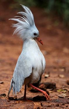 Kagu Bird (Rhynochetos jubatus). An unusual nearly flightless bird only found on the island of New Caledonia. Although Endangered, the bird is holding its own for the time being.