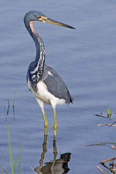 Tricolored Heron, Laguna Madre Nature Trail, South Padre Island, Texas