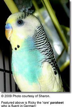 Budgie or parakeet (fancy)