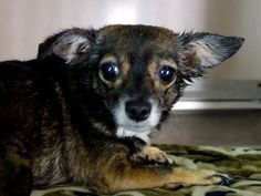Blind chihuahua surrendered by owner: Pooch too scared to come out of cage Come on folks.. this just ain't right!!!!