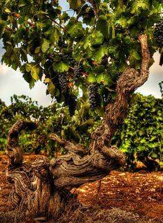 The Freedom Shiraz vineyard at Langmeil Winery. Planted 1843 and believed to be the oldest Shiraz vines in the world.  Image by Dragan Radocaj Photography. © Barossa Grape & Wine Association.