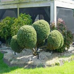 View the 75 best trees for the Colorado Front Range. Evergreens, shade trees, and fruit trees—all sourced from local nurseries. Discover the trees that thrive in Denver yards. Pom Pon, Front Range, Evergreen Shrubs, Shade Trees, Types Of Plants, Fruit Trees, Yard, Landscape, Gardening