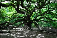 Georgia designated the live oak as official state tree in 1937. Coastal towns and cities in the south often have hurricane-resistant live oaks arching over the streets in historic neighborhoods.