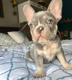 The major breeds of bulldogs are English bulldog, American bulldog, and French bulldog. The bulldog has a broad shoulder which matches with the head. Lilac French Bulldog, French Bulldog Facts, French Bulldog Puppies, French Bulldogs, Frenchie Puppies, Cute Puppies, Cute Dogs, Dogs And Puppies, Doggies