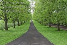 Stock Photo of a Driveway Lined With Maple Trees