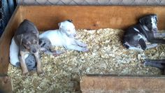 Hoots Catahoulas puppies for sale