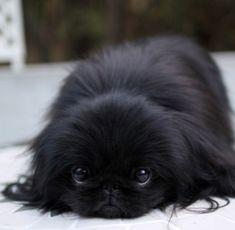 pekinez dog Gorgeous and super young looking! Yorkies, Pekingese Puppies, Fu Dog, Dog Cat, Cute Dogs And Puppies, I Love Dogs, Cute Baby Animals, Animals And Pets, Lion Dog