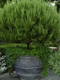 Love this potted rosemary tree.