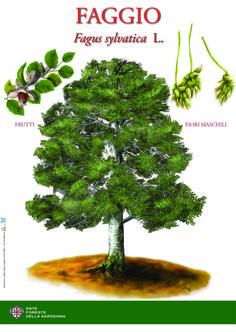Faggio illustrazione e grafica realizzata per l'Ente foreste della Sardegna