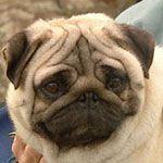 Burke's Backyard > Fact Sheets > Pugs