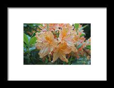 azalea, orange, flower, bloom, blossom, nature, garden, michiale, schneider, photography