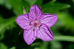 Utah Wildflowers - Sticky Purple Geranium. June- September