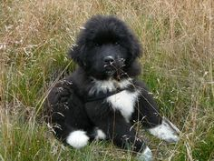 Oh my gosh! It looks just like my Sheila when I got her! She grew so fast!Newfoundland puppy