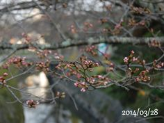 京都 哲学の道 桜 2014/03/28