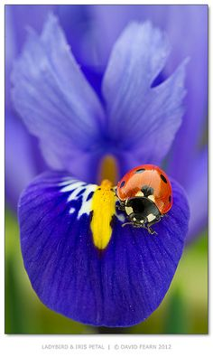 The symbol of Florence. the Iris flower. The iris has a little lady bug on it. Beautiful Bugs, Beautiful World, Beautiful Flowers, Beautiful Butterflies, Exotic Flowers, Beautiful Pictures, Photo Coccinelle, Fotografia Macro, Iris Flowers