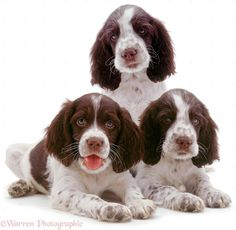 Dogs: English Springer Spaniel pups photo - WP01328