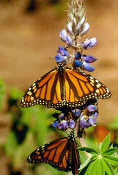 The Monarch Program in Encinitas is a beautiful sanctuary for monarch butterflies. You can see them in all stages of development, and then feed them and they will land on you! So much fun for kiddos.