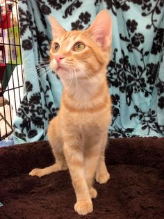 Meet KITTEN **NEW** George, a Petfinder adoptable Tabby - Orange Cat   Bartlett, TN   This is our handsome boy George. He is such a love bug. He is a very sweet boy who likes to play...