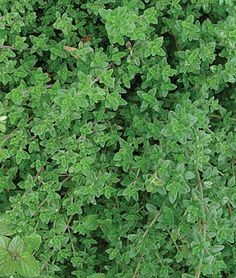 Thyme, Creeping Aromatic ground cover thyme. This gorgeous creeping herb makes great ground covers in small spaces. Use creeping thyme as scented, soft carpets for garden paths, or as fillers between pavers or stepping stones. Zones 5-9. Start early indoors.  Sun: Full Sun   Height: 4  inches  Days to Maturity: 90-150  days  Sowing Method: Indoor Sow