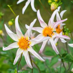 Dahlia 'Honka Fragile' - Dahlienblüten, die wie kleine Propeller im Wind tanzen. Gepflanzt werden sie als Knollen im Frühling - online bestellbar bei www.fluwel.de