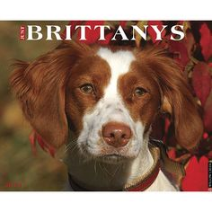 """Just Brittanys Wall Calendar: Brittanys are great companions and delightful to the eye. Bred to hunt, they are inclined to """"flash point"""" critters of all kinds. These twelve full-color photographs celebrate all their cheerful enthusiasm and great looks.  $13.99  http://calendars.com/Brittanys/Just-Brittanys-2013-Wall-Calendar/prod201300002991/?categoryId=cat10070=cat10070#"""