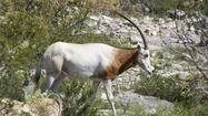 Texas antilopa