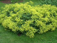 Alchemilla_mollis  full sun-part shade lobed, densely hairy, chartreuse foliage that is crimped at the edges. Soft, frothy, yellow-green foliage hovers above the plant from early summer through autumn.  The soft leaves form depressions which capture morning dew or rain.   Propagation: Sow seed in containers in spring. Divide in early spring or autumn. Problems: Slugs and snails may damage foliage