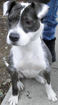 ADOPTEDLovely Lolita is an adoptable Terrier searching for a forever family near Ozone Park, NY. **She was rescued at 2 yrs from animal control & has been with Rescue for 5 Years Now** Use Petfinder to find adoptable pets in your area. RESCUED