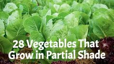 28 Vegetables That Grow in Partial Shade