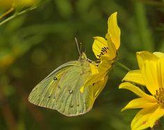 2006 Photograph, Clouded Sulphur Butterfly (Colias philodice) on Tickseed Sunflower, Occoquan Bay NWR, Woodbridge, Virginia © 2007.