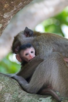 Newborn Long Tail monkey, Krabi
