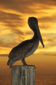 Brown Pelican (Pelecanus occidentalis) © John H. Henderson - TroysArt.com