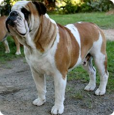 The major breeds of bulldogs are English bulldog, American bulldog, and French bulldog. The bulldog has a broad shoulder which matches with the head. Boxer Bulldog, Bulldog Breeds, Bulldog Puppies, Dogs And Puppies, Doggies, Unique Dog Breeds, Rare Dog Breeds, I Love Dogs, Cute Dogs