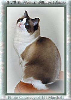 SEALPOINT BICOLOR RAGDOLL CAT