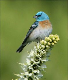 Lazuli bunting is a blue bird. Very beautiful image by Tom Munson.