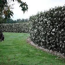 gardenia hedge - Google Search