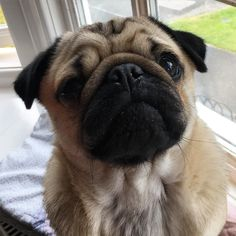 Morning folks! I hope you're having a wonderful Wednesday  I have a slightly sticky eye this morning so it's been cleaned with cooled boiled water and nana says if it's not perfect in an hour then it's off to the vet  (I got half a mini babybel for being good while I had my eye cleaned!! )#purepugspp #pug #pugs #pugsofinstagram #pugbasement #pugsproud_feature #badasspugclub #bubblebeccahat #cupcake_pug #dailydoseofpugs #eddthepug #flatnosedogsociety #gilesfriends #heyportiapickme…