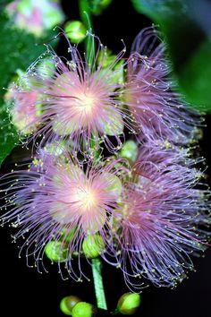 さがりばな (下がり花) Barringtonia racemosa