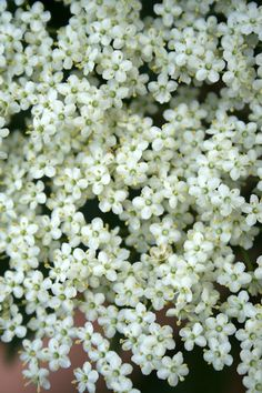 Queen Annes Lace, Elderflower, Sounds Good, Fritters, Weed, Clinic, Irish, Bloom, Invitations