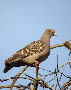 2468. Spot-winged Pigeon (Patagioenas maculosa) | found in Argentina, Bolivia, Brazil, Chile, Paraguay, Peru, and Uruguay
