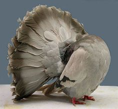 Fantail pigeons - Google Search