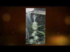 Love this grow video! 4000 watts of light in a closet grow!