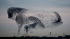 A murmuration of starlings above the small village of Rigg, Dumfriesshire, where the weight of the resting birds on lines caused power cuts....