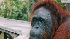 Taman Nasional Tanjung Puting - Mau Bertamu ke Rumah Orangutan? Ini yang Perlu…