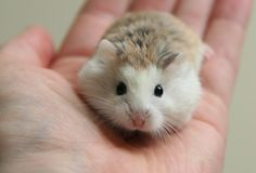 Roborovski dwarf hamsters are the smallest and speediest of the pet hamster species.