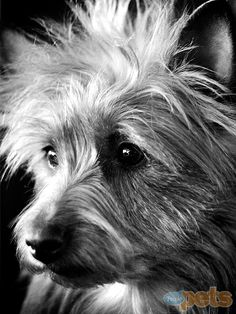 Izzy - Australian terrier looks exactly like Gracie, my pound puppy.  Fearless & loves everyone.