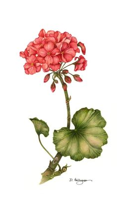 geranium, botanical illustration