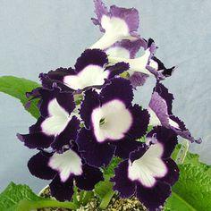 Streptocarpus 'LE Violetta'—The Violet Barn